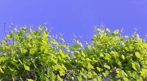 Vine branches tend to the sun Royalty Free Stock Image