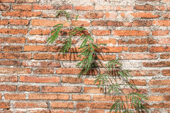 Vine on brick wall background Royalty Free Stock Image