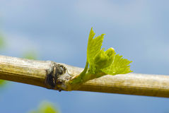 Vine bud bursting open. Spring time in a vineyard with a bud bursting Stock Photos