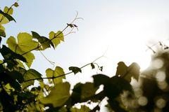 Vine bunch in backlight Royalty Free Stock Photography