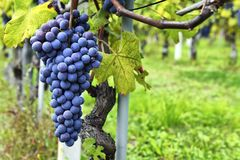 Vine and bunch of black grapes in a field. Bunches of red grapes growing on a vine Stock Image
