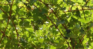 Vine and bunch of grapes in the Alpilles, South East of France, Real Time. 4K stock video footage