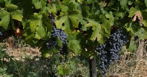 Vine and bunch of grapes in the Alpilles, South East of France, Real Time. 4K stock footage