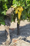 Vine with bunch of white grapes Royalty Free Stock Photography