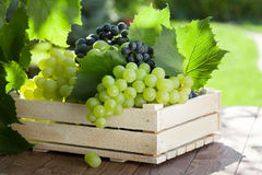 Vine and bunch of white grapes Royalty Free Stock Images