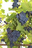 Vine with bunches of dark grapes on a light background royalty free stock photos