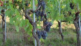 Vine with bunches of juicy ripe dark grapes stock video