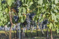 Vine with bunches Royalty Free Stock Photo