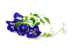 Vine of Butterfly Pea on white background, Herbal Medicine. Clitoria ternatea or butterfly-pea on white background, traditional  medicine Stock Images