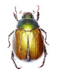 Vine Chafer on white Background. Anomala vitis Fabricius 1775 Stock Images