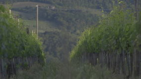 Vine from the Chianti hills. Moving shots between the vines in the Tuscan hills of Chianti stock video footage