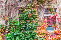 Vine clad facade in autumn. Vine clad house facade with autumn leaves Royalty Free Stock Photos