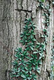 Vine climbing a tree. Parasitic plant or vine climbing up a tree trunk Royalty Free Stock Photos