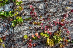 Vine climbing a wall Royalty Free Stock Images