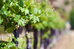 Vine close-up Royalty Free Stock Photography