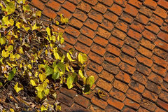 Vine colored leaves on roof Stock Photo