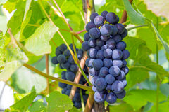 Vine. A colorful bunch of grapes in the foliage Royalty Free Stock Photos