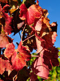 The vine with the colors of autumn Royalty Free Stock Images