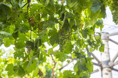 Vine-covered arbour Royalty Free Stock Photo