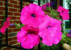 Hot pink flowers in pot on porch Royalty Free Stock Photo
