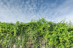 Vine covered construction Stock Image