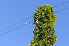 Vine Covered Electric Wire Royalty Free Stock Images
