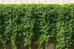 Vine-covered fence background Stock Photos