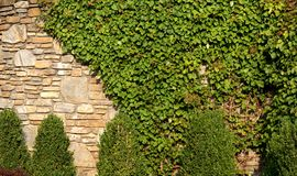 Vine covered rock wall. Vines covering a rock wall Royalty Free Stock Photos