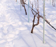 Vine covered with snow Stock Photography