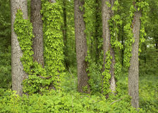 Vine covered trees Royalty Free Stock Photos