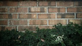 Vine covered wall Royalty Free Stock Image