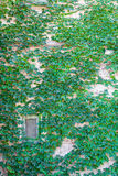 Vine Covered Wall with Window Royalty Free Stock Image