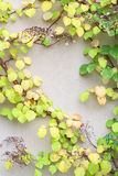 Vine creeper plant with green and yellow leaves Stock Photos