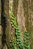 Vine crimbing on a tree Stock Photo