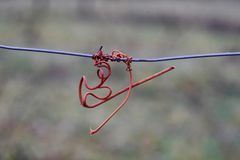 Vine crook on wire. Cut vines crook on the guide wire in the vineyard in the autumn. Space for text Royalty Free Stock Images