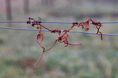 Vine crook on wire. Cut vines crook on the guide wire in the vineyard in the autumn. Space for text Royalty Free Stock Photography