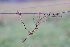 Vine crook on wire. Cut vines crook on the guide wire in the vineyard in the autumn. Space for text Stock Photography