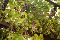 Vine dark fertile fruitful. With bunches of grapes and green leaves grapevine royalty free stock photography