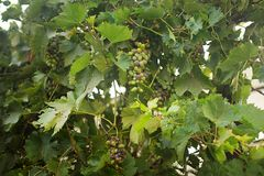 Vine dark fertile fruitful. With bunches of grapes and green leaves grapevine royalty free stock images