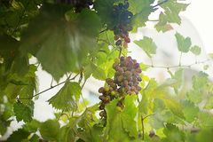 Vine dark fertile fruitful. With bunches of grapes and green leaves grapevine stock images