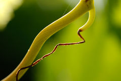 Vine detail Royalty Free Stock Photography