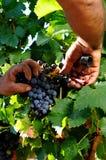 The vine Stock Image