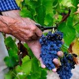 The vine Royalty Free Stock Photos
