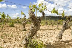 Vine in dry clay Stock Photography