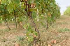 Vine and Dry Grass. And leaves Stock Images