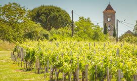 Vine at the end of spring in the region of saint emilion. Near bordeaux royalty free stock photos