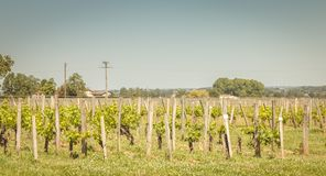 Vine at the end of spring in the region of saint emilion. Near bordeaux royalty free stock photography