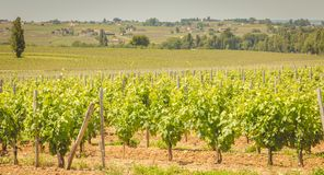 Vine at the end of spring in the region of saint emilion. Near bordeaux stock images