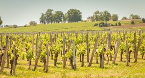 Vine at the end of spring in the region of saint emilion. Near bordeaux stock photos