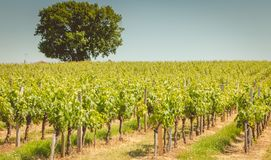 Vine at the end of spring in the region of saint emilion. Near bordeaux stock photo